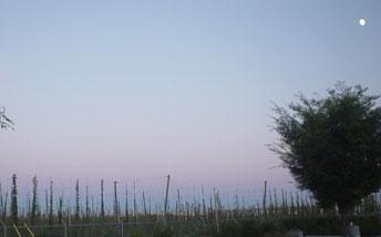 Sierra Nevada\'s organic hop yard